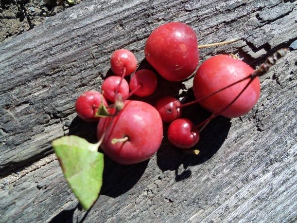 Two varieties of crab apples