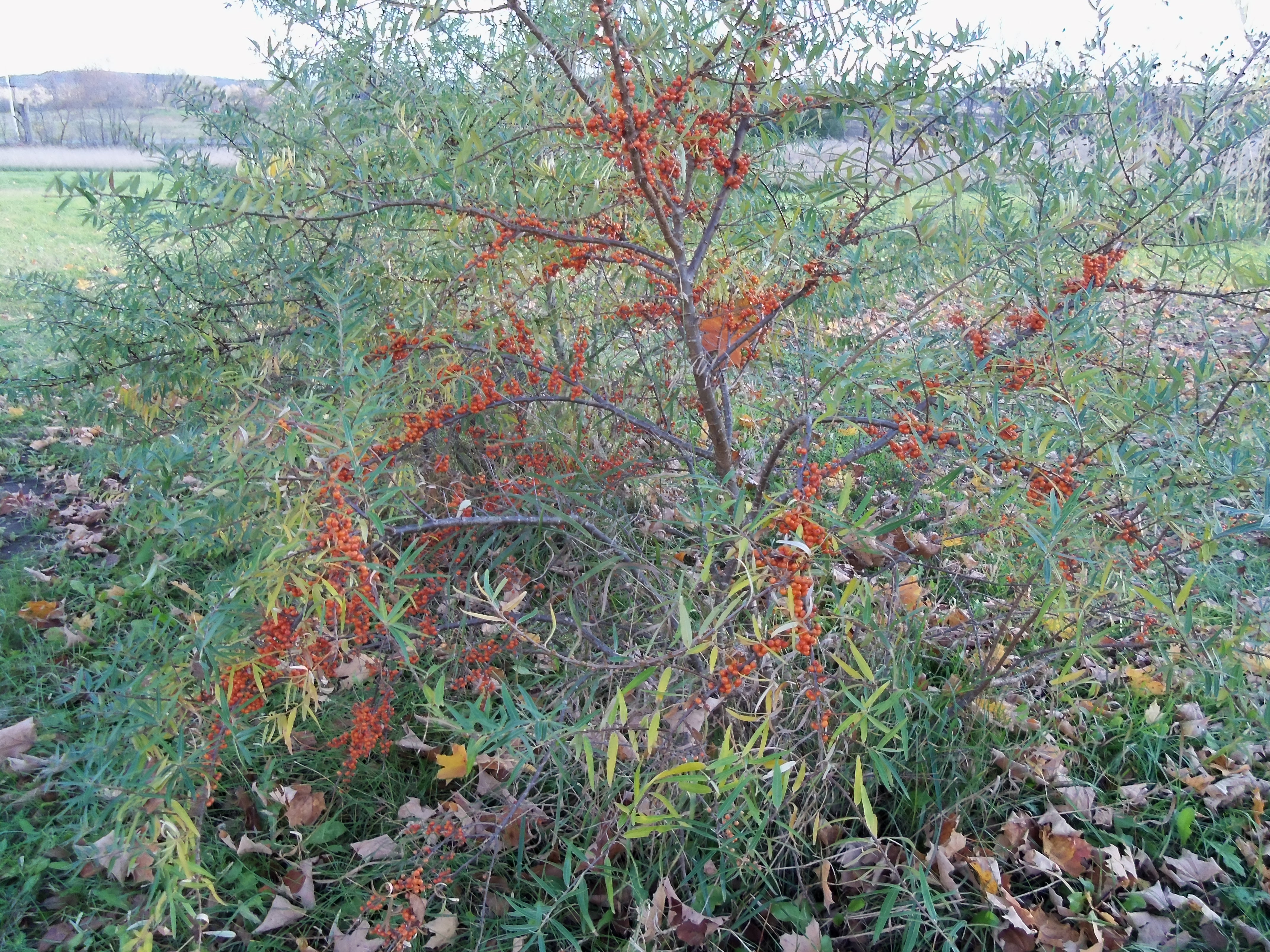 Sea buckthorn along the grapevine - Growing sea buckthorn ...