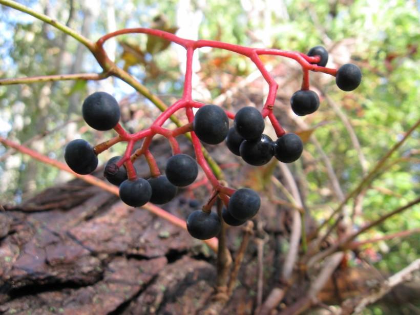 20091003153904 Virginia Creeper (Parthenocissus quinquefolia) vine with blue berries - Oakland Co.JPG